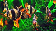 Размножение суматранских барбусов