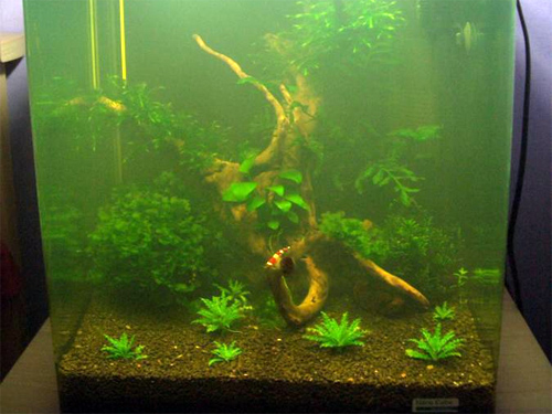 Креветки привыкнут к любой воде, если их правильно запустить