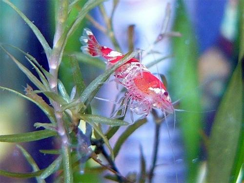 Креветок можно практически не кормить, они питаются подножным кормом и водорослями.
