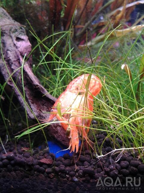 Спаривание раков в аквариуме