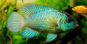 Наннакара Неоновая. Голубое пламя в Вашем аквариуме.