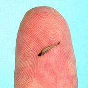 Самая маленькая рыба в мире.   AQA.ru - прозрачный мир