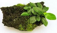 Аквариумные растения на камнях и корягах