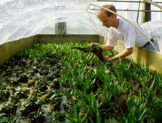Как сажать аквариумные растения без корней 66