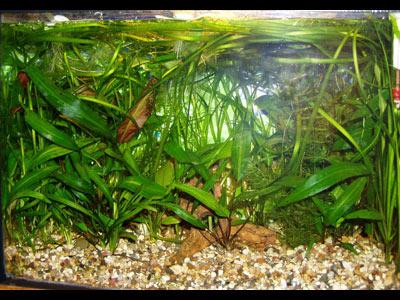 Растения в аквариуме с лабиринтовыми