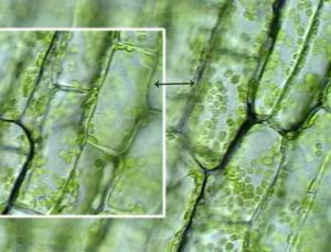Клeтки растения с хлоропластами.
