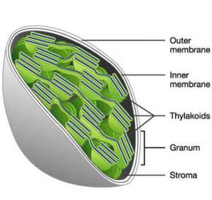 Хлоропласт