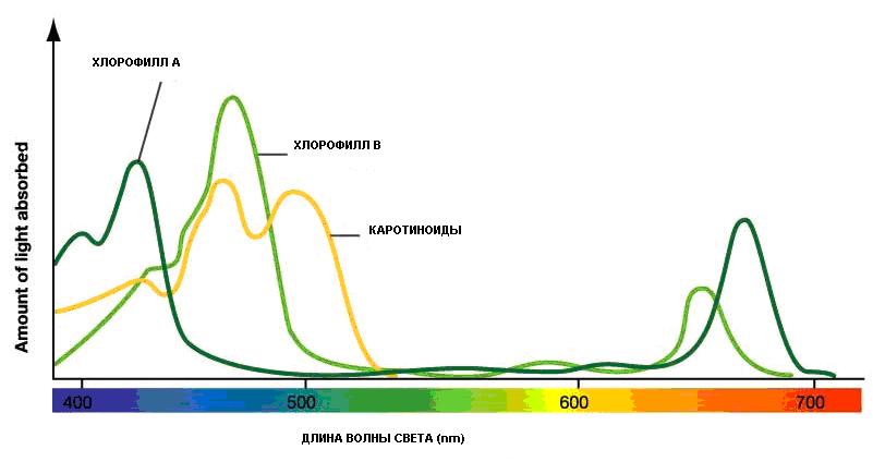Интенсивность поглощения лучей хлорофиллом и каротинодами