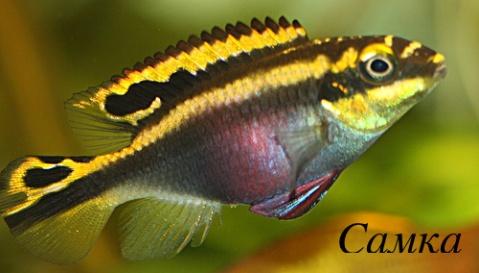 Pelvicachromis_pulcher4.jpg