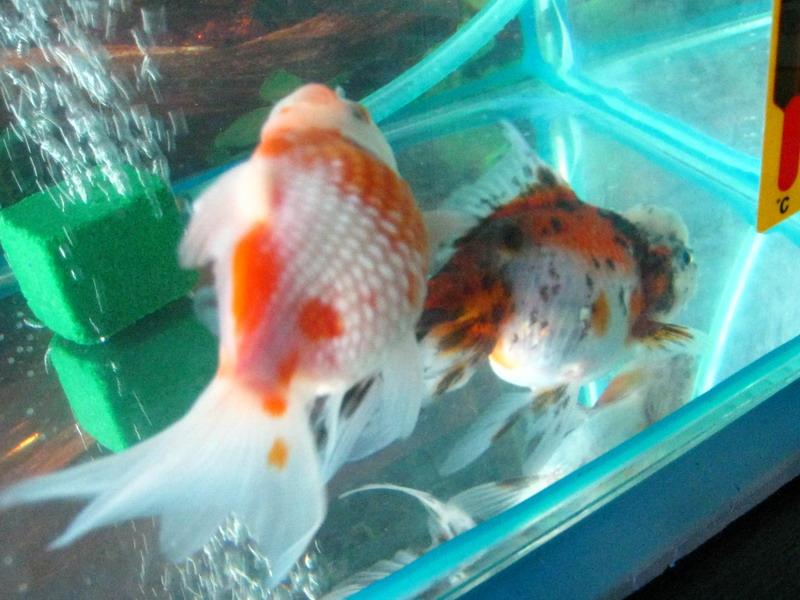 Беременная золотая рыбка как выглядит 64