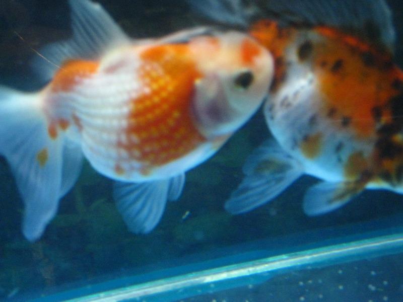 Беременные золотые рыбки фото 53
