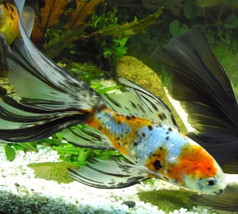 http://www.aqa.ru/assets/images/goldfish/images/aqa.ru-20090212114116(1).jpg