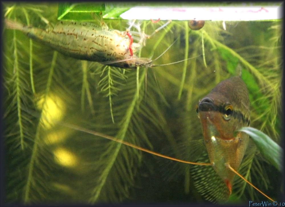 Креветка амано поедает мотыля, а справа самец жемчужного гурами. Вполне мирные соседи.