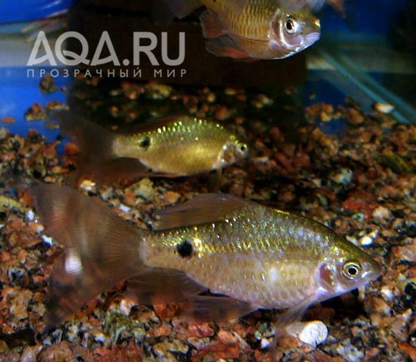 рыбка лабео фото