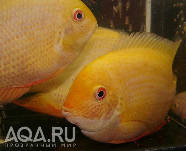 http://www.aqa.ru/docs/ptichka/21.11.2005/severum-alb.jpg