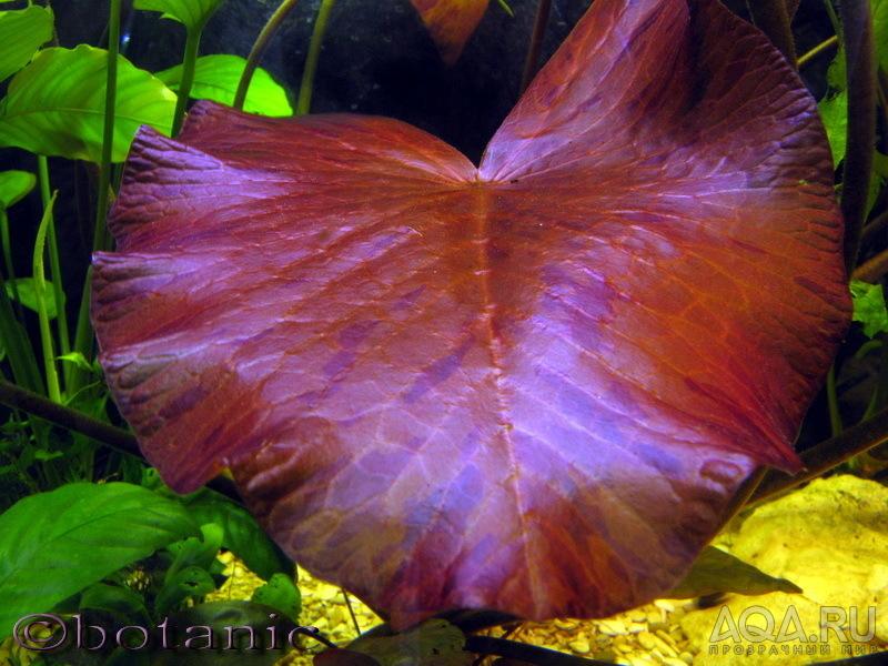 Нимфея тигровая красная Nymphaea tiger lotus