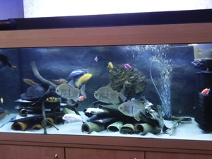 Скиньте пожалуйста фото своего аквариума с Мбунами
