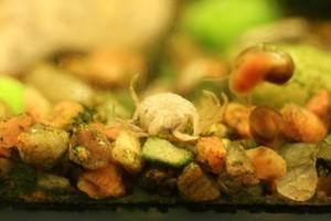 Микрокраб Limnopilos naiyanetri обсуждаем здесь.
