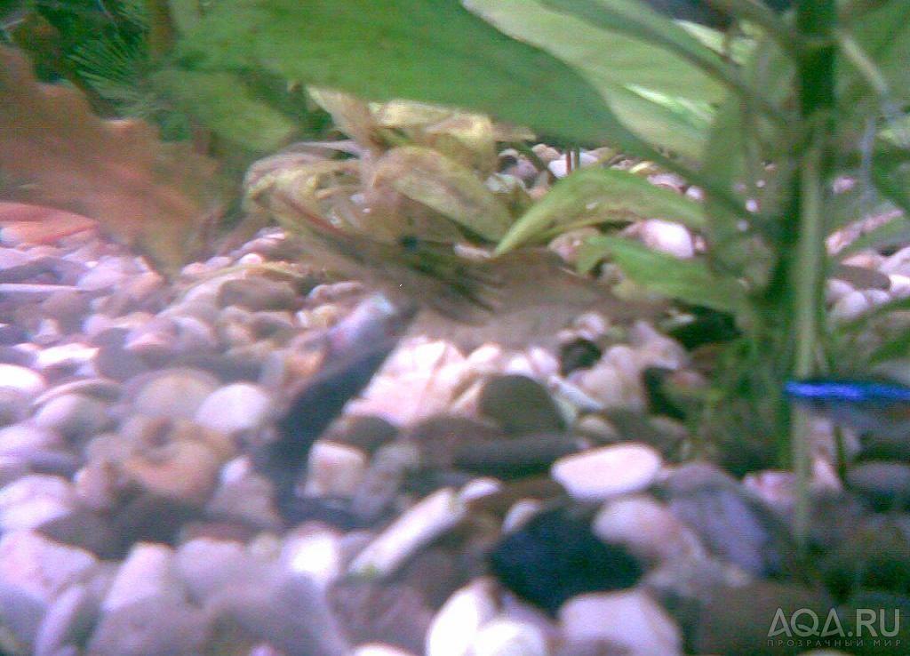 Почему креветки в аквариуме умирают