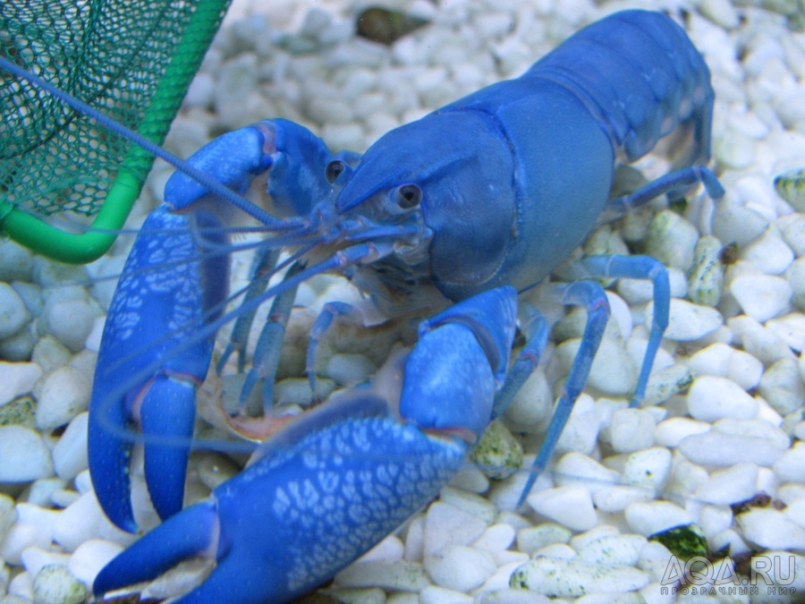 Разведение голубых раков в домашних условиях