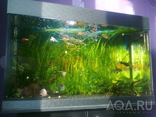 Aquafanat аквариум и аквариумистика форум аквариумистов