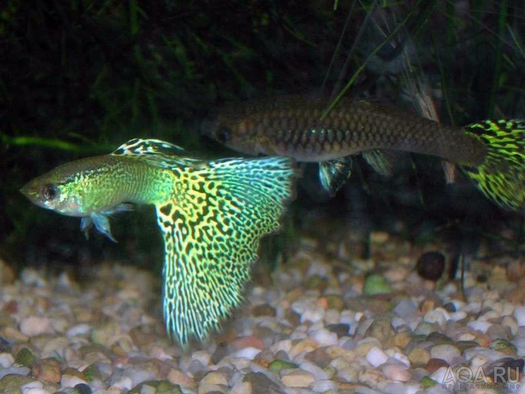 Guppies male fish