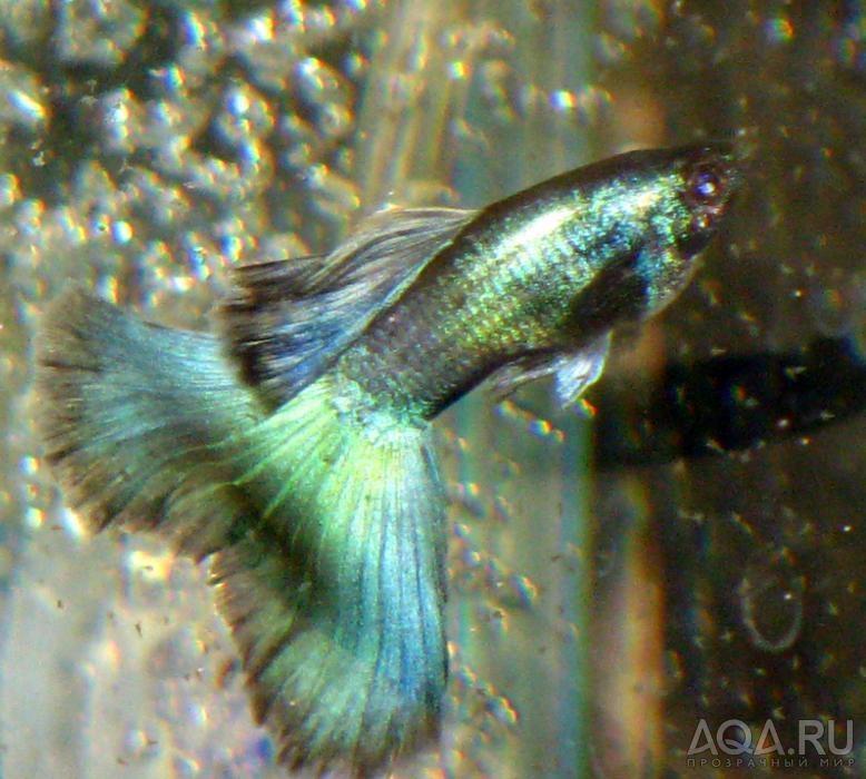 Гуппи  аквариумные рыбки  kwitriru