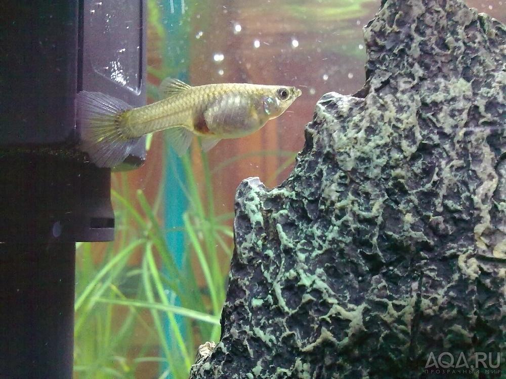 Беременные рыбки гуппи фото 60