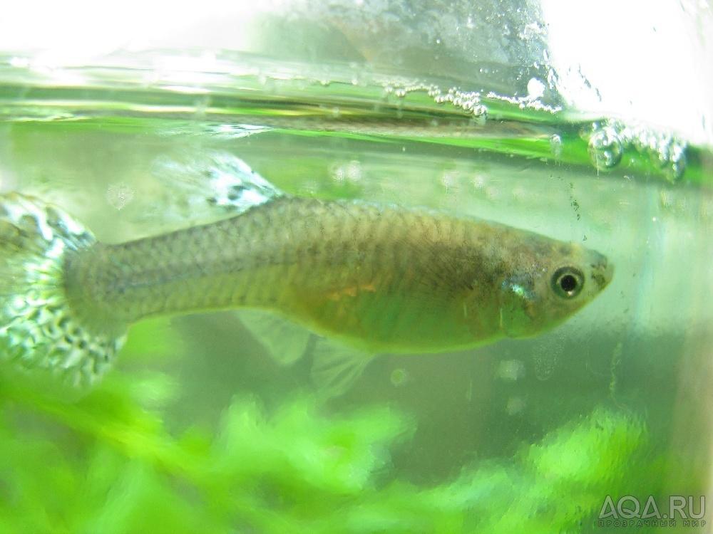 Беременные рыбки гуппи фото 61