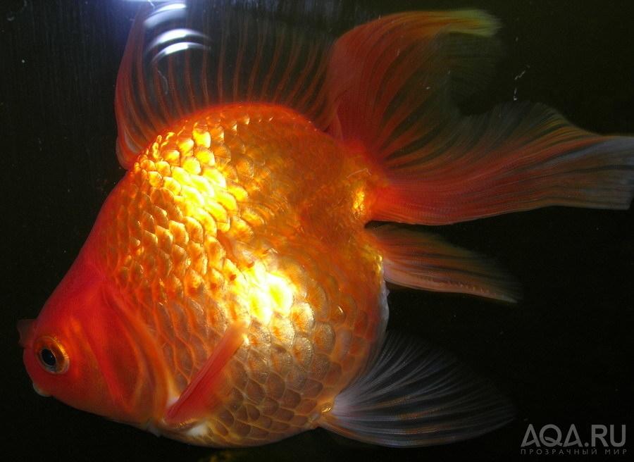 Беременная золотая рыбка как выглядит 63