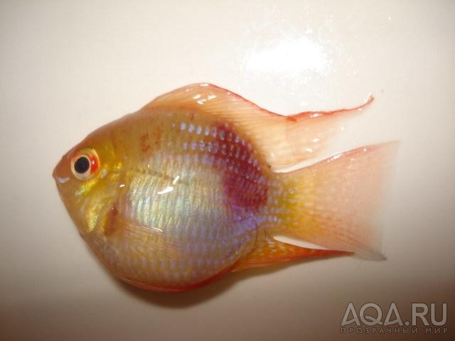 ФОТО.АКВАРИУМ.РУ - от чего рыбка утонула!?, фото аквариумов, рыбок...