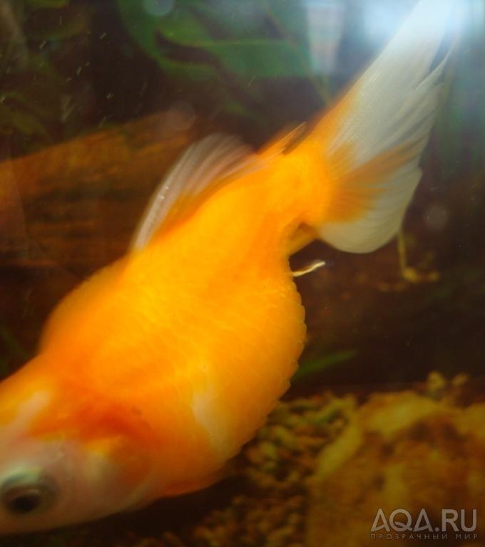 Плавники быстро откусывают, а мальков гуппий целиком проглатывают (рыбка-петушек (betta splendens))