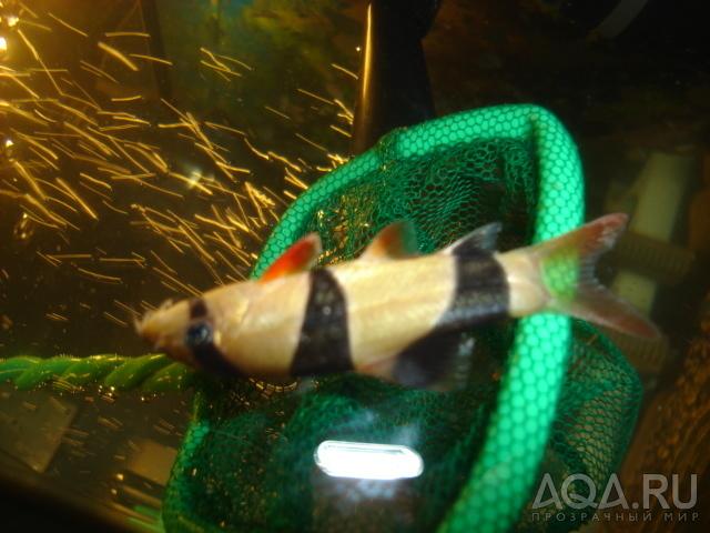 дохнут рыбы в аквариуме тесто для