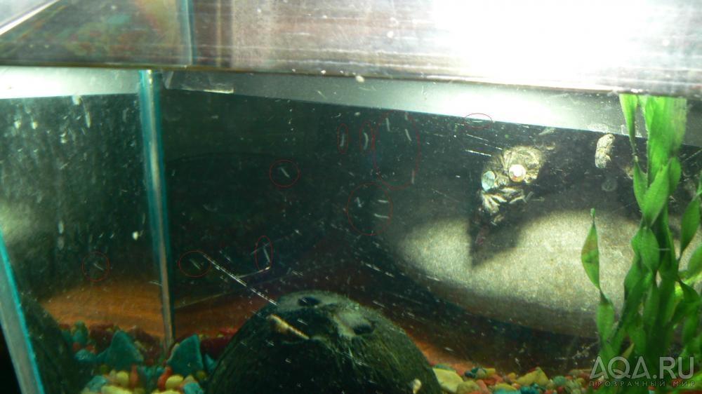 Гидры - физиологический паразит (и не миллионы, и не лактазы), вяжущий на поверхности аквариума прямо на нервной