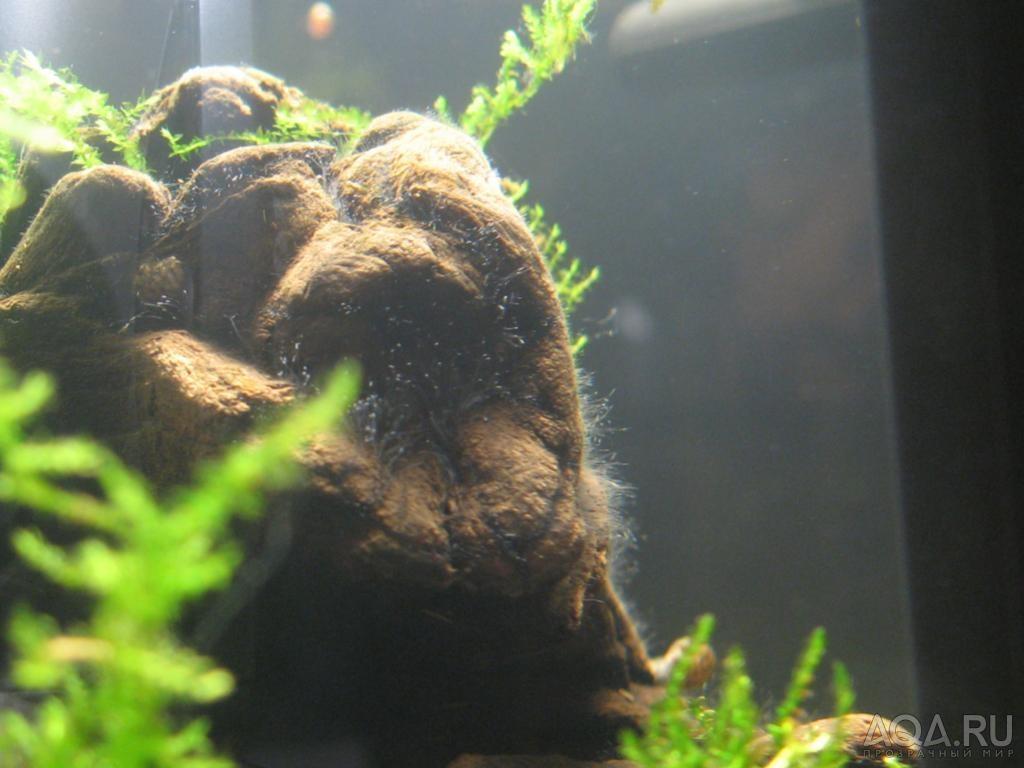 мшанка в аквариуме фото парни этим