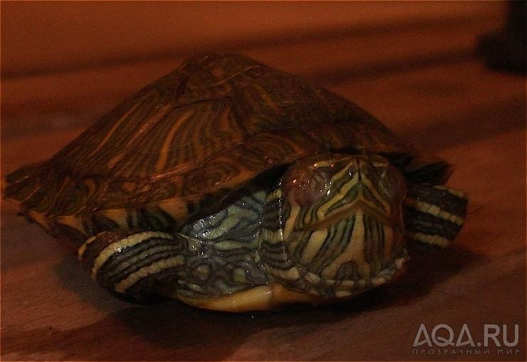 Красноухая черепаха отек глаз