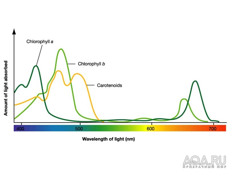 absorption spectrum for leaf pigments