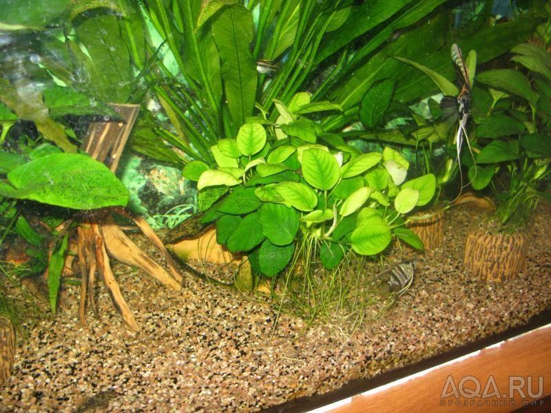 Как правильно сажать анубиас в аквариуме 46