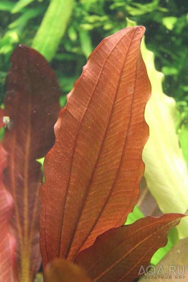 echinodorus rote mamba