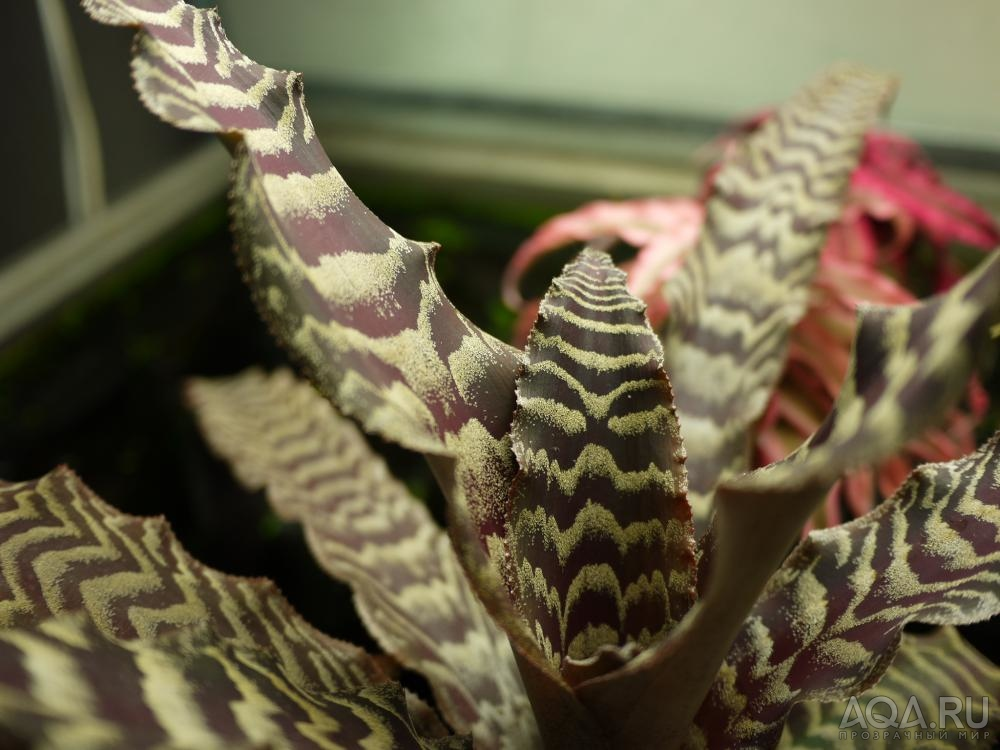 Растение криптантус: фото и уход в домашних условиях