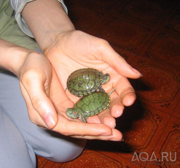 Как ухаживать за маленькой болотной черепахой в домашних условиях