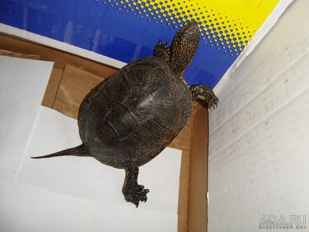 Условия содержания болотной черепахи в домашних условиях 172