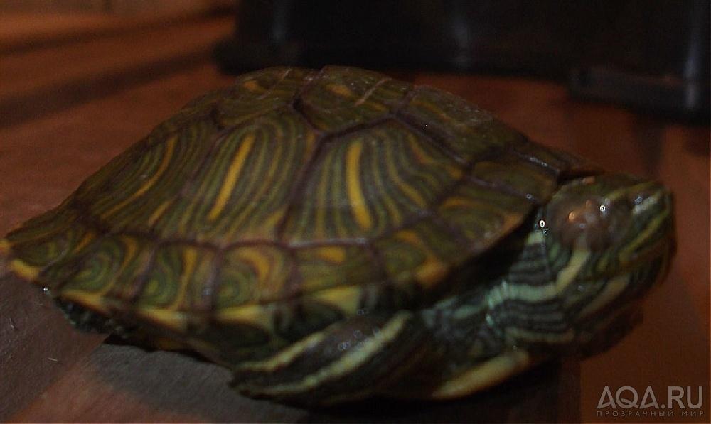 Как лечить воспаление у красноухой черепахи