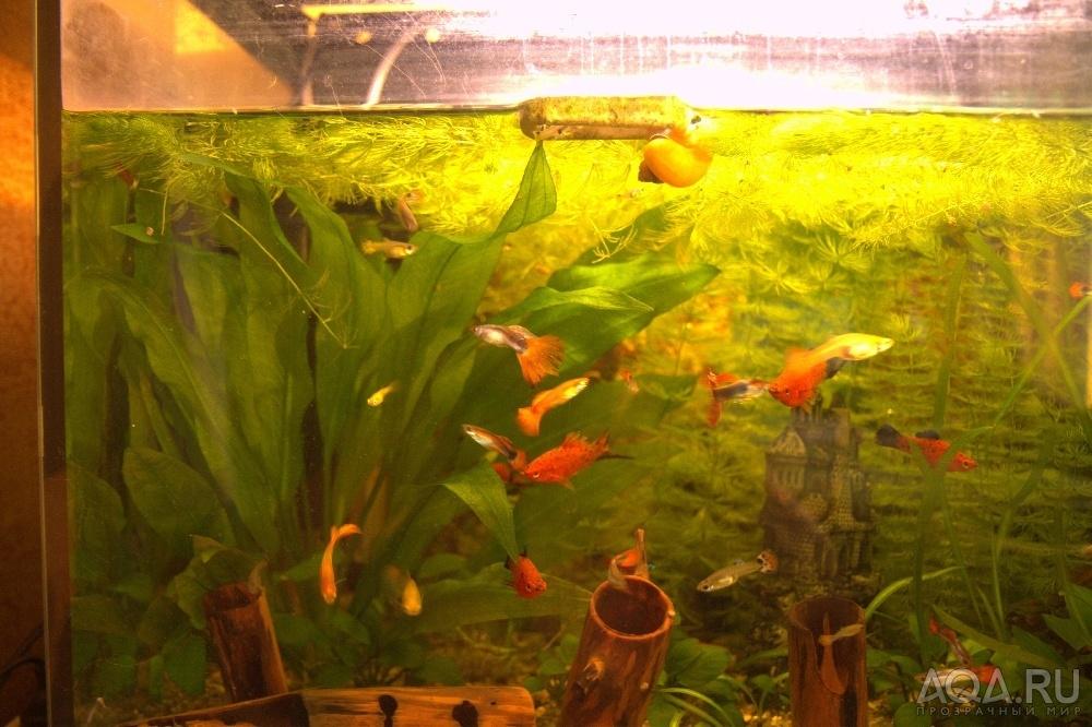 Уход за рыбками гуппи в аквариуме