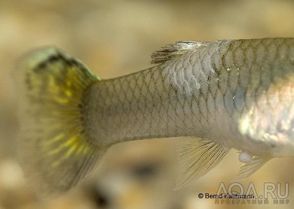 болезни аквариумных сомов внешнии признаки и лечение с фото видео