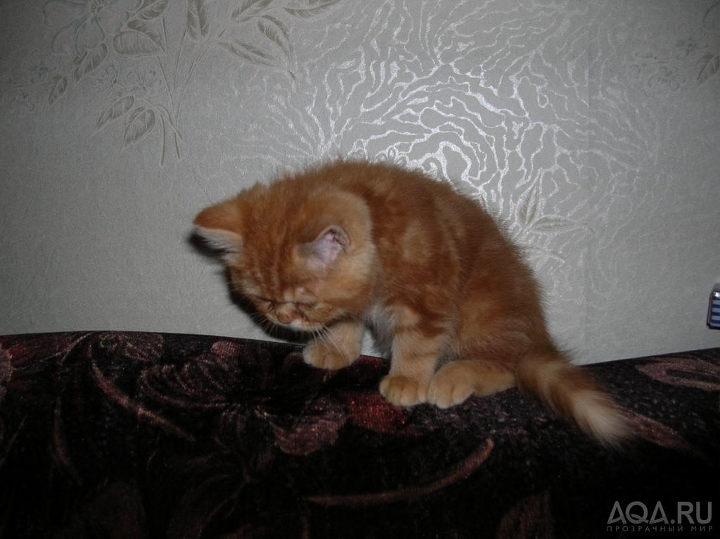 Экзот фото кошек