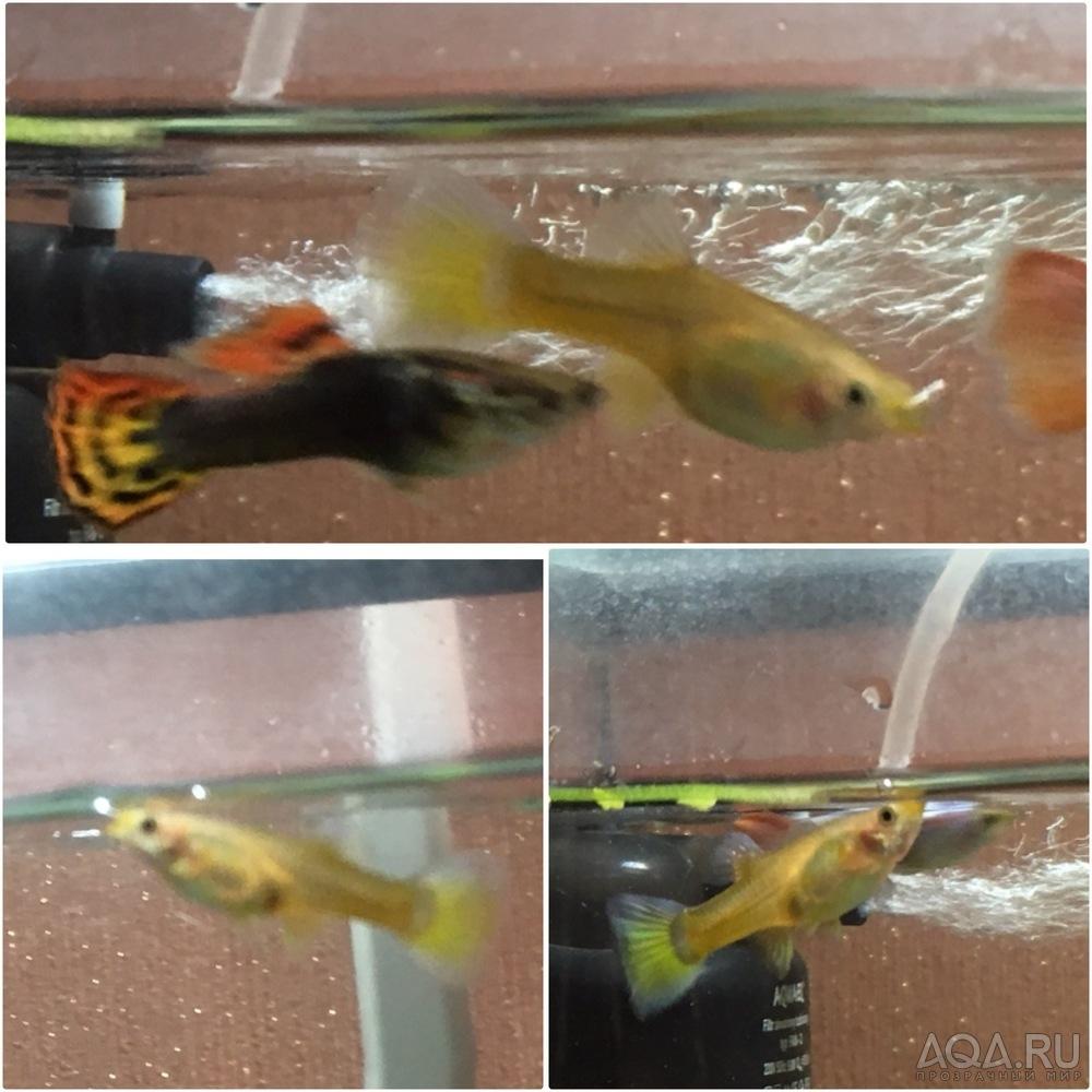 Беременные рыбки гуппи фото 50