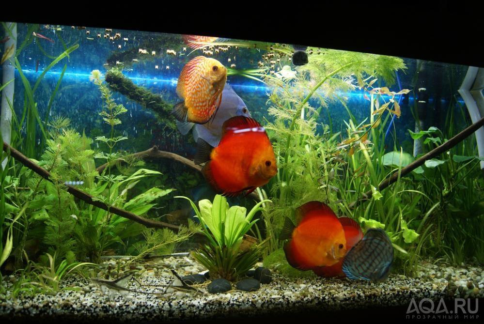 дискус фото рыбки