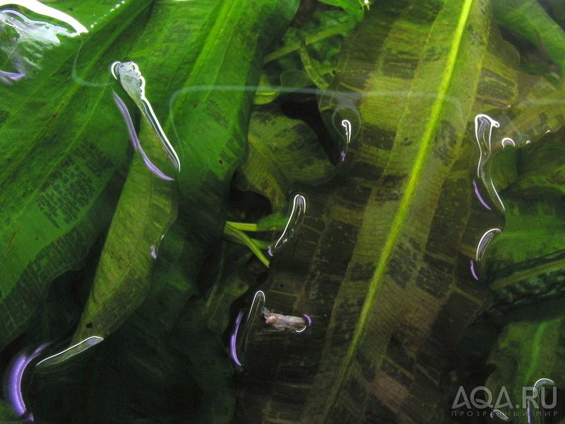фото апоногетон живородящий