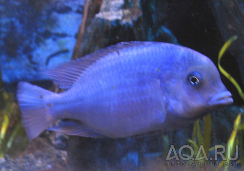 ФОТО.АКВАРИУМ.РУ - самец голубого дельфина, фото аквариумов, рыбок...